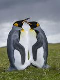 King Penguin, Falkland Islands, South Atlantic Photo by Martin Zwick