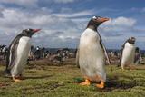 Falkland Islands, Bleaker Island. Gentoo Penguin Colony Photo by Cathy & Gordon Illg