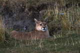 Puma Waiting, Torres del Paine NP, Patagonia, Magellanic Region, Chile Photo by Pete Oxford