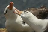 Falkland Islands, Saunders Island. Black-Browed Albatross Courtship Photo by Cathy & Gordon Illg