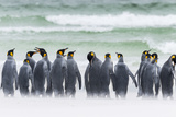 Falkland Islands, South Atlantic. Group of King Penguins on Beach Photo by Martin Zwick