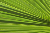 California, Palm Springs, Indian Canyons. California Fan Palm Frond Photo by Kevin Oke