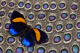 Butterfly on Grey Peacock Pheasant Feather Design Photo by Darrell Gulin