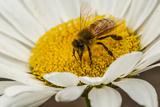 USA, Colorado, Jefferson County. Honey Bee on Daisy Blossom Photo by Cathy & Gordon Illg