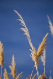 Washington, Walla Walla Co. Mcnary NWR, Ravenna Grass, Pampas Grass Photo by Brent Bergherm