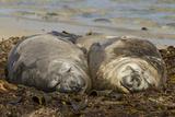 Falkland Islands, Carcass Island. Southern Elephant Seals, Sleeping Photo by Cathy & Gordon Illg
