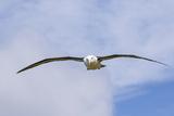 Black-Browed Albatross or Mollymawk, Flight Shot. Falkland Islands Photo by Martin Zwick