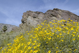 California, Palm Springs, Indian Canyons. Desert Marigold Photo by Kevin Oke