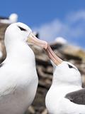 Black-Browed Albatross Greeting Courtship Display. Falkland Islands Photo by Martin Zwick