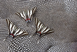 North American Zebra Swallowtail Butterflies on Guineafowl Feathers Photo by Darrell Gulin