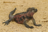 Ecuador, Galapagos National Park. Marine Iguana on Sand Photo by Cathy & Gordon Illg