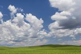 USA, Washington State, Palouse Hills. Field of Spring Peas Photo by Don Paulson