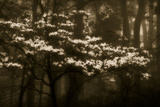 USA, Virginia, Shenandoah NP. Dogwood Blossoms in the Mist Photo by Bill Young