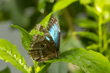 Blue Morpho Butterfly at the Butterfly Conservatory, Key West, Florida Photo by Chuck Haney
