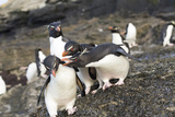 Rockhopper Penguin, Subspecies Southern Rockhopper Penguin Photo by Martin Zwick