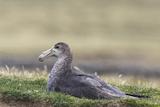 Southern Giant Petrel (Macronectes Giganteus), on the Falkland Islands Photo by Martin Zwick