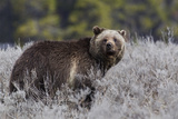 Grizzly Bear Photo by Ken Archer