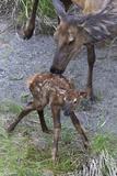 Rocky Mountain Cow Elk with Newborn Calf Photo by Ken Archer