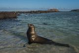 Galapagos Sea Lion Galapagos, Ecuador Photo by Pete Oxford