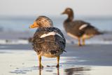 Falkland Flightless Steamer Duck. Male and Female. Falkland Islands Photo by Martin Zwick