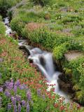 Oregon, Mt. Hood Wilderness. Wildflowers Along Elk Cove Creek Photo by Steve Terrill