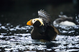 A Tufted Puffin Shaking Water Off His Wings after Landing Photo by Sheila Haddad
