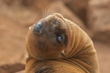Ecuador, Galapagos National Park. Sea Lion Close-up Photo by Cathy & Gordon Illg