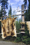 Elk Hide over Wooden Rack for Easy Scraping and Tanning. Alaska Photo by Angel Wynn