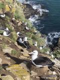 Black-Browed Albatross or Mollymawk, Colony. Falkland Islands Photo by Martin Zwick