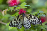 Rice Paper Butterfly, Butterfly Conservatory, Key West, Florida Photo by Chuck Haney
