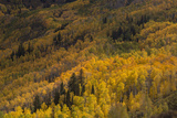 USA, Colorado, White River NF. Aspen Trees in Peak Autumn Color Photo by Don Grall