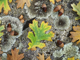 California, Cleveland NF, Acorns and Black Oak Leaves on a A Rock Photo by Christopher Talbot Frank