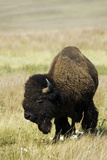 Portrait of American Bison Grazing in the Grasslands, North Dakota Photo by Angel Wynn