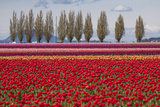 Washington, Mt Vernon, Tulips at the Skagit Valley Tulip Festival Photo by Emily Wilson