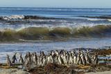 Falkland Islands, Sea Lion Island. Magellanic Penguins and Surf Photo by Cathy & Gordon Illg