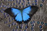 Blue Mountain Butterfly on Grey Peacock Pheasant Feather Design Fotografía por Gulin, Darrell