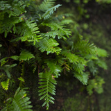 Resurrection Fern, Pleopeltis Polypodioides, Florida Photo by Maresa Pryor