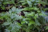 This Is an Interesting Variety of Fern, the Leaves are Iridescent Photo by Mallorie Ostrowitz