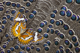 Lacewing Butterfly on Grey Peacock Pheasant Feather Design Photo by Darrell Gulin