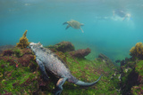 Marine Iguana Underwater, Fernandina Island, Galapagos, Ecuador Photo by Pete Oxford