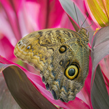 USA, Washington State, Seattle. Close-up of Owl Butterfly Photo by Don Paulson