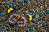 Single Delias Butterfly Underside on Malayan Peacock-Pheasant Feathers Photo by Darrell Gulin