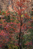 USA, Utah, Zion National Park. Autumn Scenic Photo by Jay O'brien