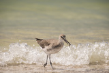 This Willet Has His Next Meal Photo by Sheila Haddad