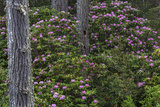Rhododendrons Flowering in the Siuslaw NF Near Reedsport, Oregon, USA Photo by Chuck Haney