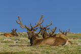 USA, Colorado, Rocky Mountain National Park. Bull Elks Resting Photo by Cathy & Gordon Illg