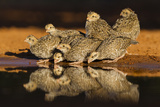 Northern Bobwhite (Colinus Virginianus) Young Drinking Photographie par Larry Ditto