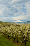 USA, Oregon, Hood River. Mt. Hood Looms over Apple Orchard Photo by Richard Duval