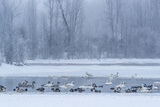 Geese, Swans and Ducks at Pond Near Jackson, Wyoming Photo by Howie Garber
