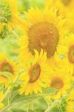 Large Field of Sunflowers Near Moses Lake, Washington State, USA Photo by Stuart Westmorland